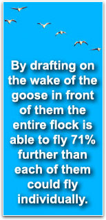 By drafting on the wake of the goose in front of them the entire flock is able to fly 71% further than each of them could fly individually